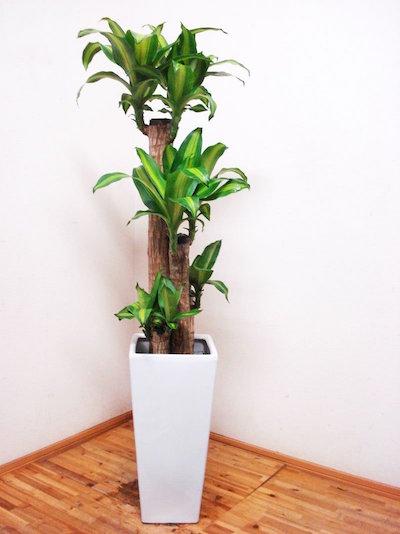 ドラセナ植物